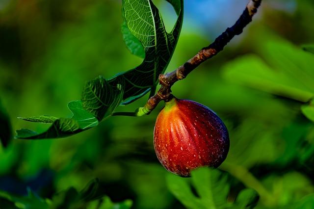 plod fíkovníku